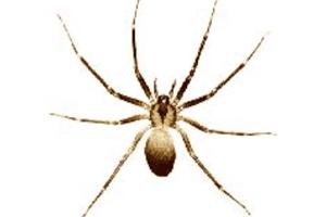 Eliminar as aranhas em casa