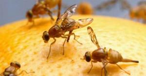 armadilha-mosca-fruta