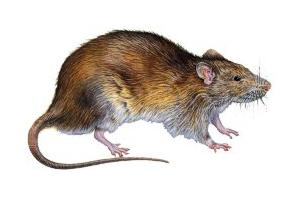 Livrar-se das ratazanas
